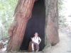 Mike in a redwood