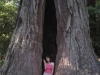 Nicole in a redwood.